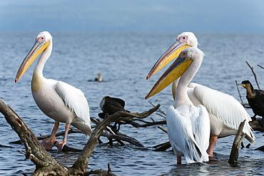 Great white pelican (Pelecanus onocrotalus), Lake Naivasha, Kenya, East Africa, Africa