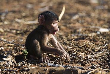 A new born chacma baboon (Papio ursinus), Chobe National Park, Botswana, Africa