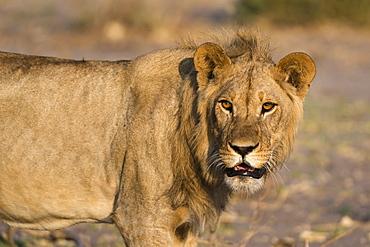 Portrait of a lion (Panthera leo), Savuti marsh, Chobe National Park, Botswana, Africa