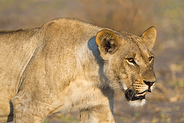 A lioness (Panthera leo) walking, Savuti marsh, Chobe National Park, Botswana, Africa