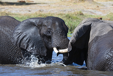 Two African elephants (Loxodonta africana) sparring in the river Khwai, Khwai Concession, Okavango Delta, Botswana, Africa