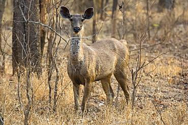 sambar deer (Rusa unicolor), Bandhavgarh National Park, Madhya Pradesh, India, Asia