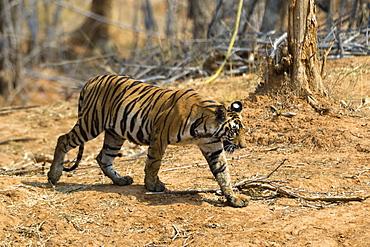A Bengal tiger (Panthera tigris tigris) walking, Bandhavgarh National Park, Madhya Pradesh, India, Asia