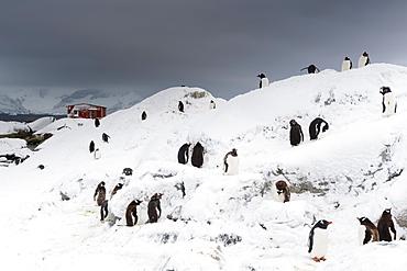 A Gentoo penguin colony (Pygoscelis papua) near Groussac Argentinian hut, Petermann Island, Antarctica, Polar Regions