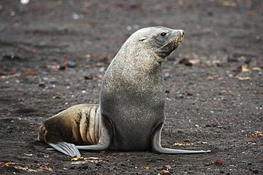 Portrait of an Antarctic fur seal (Arctocephalus gazella), Deception Island, Antarctica, Polar Regions