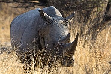 White rhinoceros (Ceratotherium simum) looking at the camera, Botswana, Africa