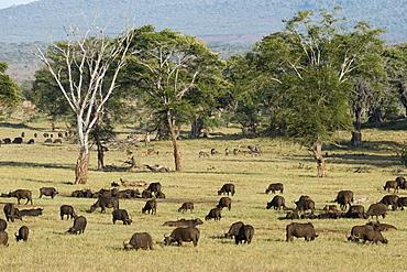 A herd of African buffalo (Syncerus caffer) grazing in a plain, Tsavo, Kenya, East Africa, Africa