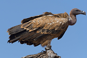 A white-backed vulture (Gyps africanus) on a tree top, Tsavo, Kenya, East Africa, Africa