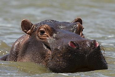 An hippoptamus (Hippopotamus amphibius) submerged in water and looking at the camera, Lake Gipe, Tsavo, Kenya, East Africa, Africa