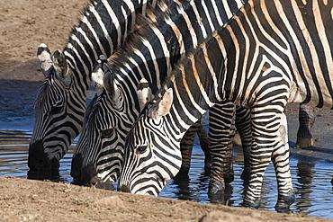 Common zebras (Equus quagga) drinking at a waterhole, Tsavo, Kenya, East Africa, Africa