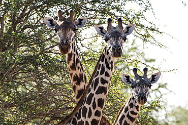 Three Maasai giraffes (Giraffa camelopardalis tippelskirchi) looking at the camera, Tsavo, Kenya, East Africa, Africa