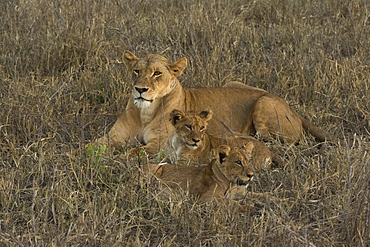 A lioness (Panthera leo) with cubs, Tsavo, Kenya, East Africa, Africa