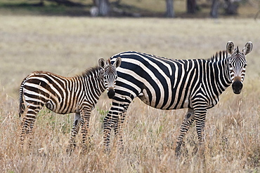 A common zebra ( Equus quagga) with its foal, looking at the camera, Tsavo, Kenya, East Africa, Africa