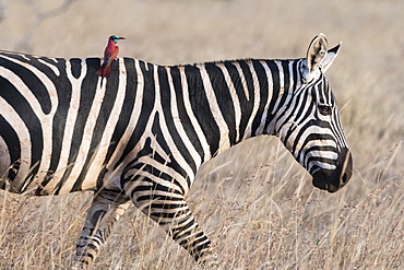 Portrait of a common zebra (Equus quagga), walking with a northern carmine bee-eater (Merops rubicus) on its back, Kenya, East Africa, Africa