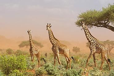 Three Maasai giraffes (Giraffa camelopardalis tippelskirchi), in a dust storm, Tsavo, Kenya, East Africa, Africa