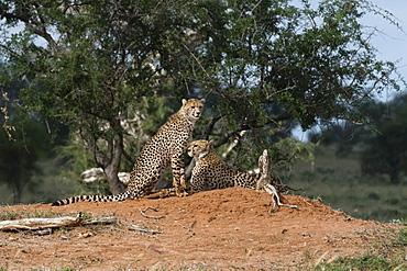 Two cheetah (Acinonyx jubatus) on a termite mound, Tsavo, Kenya, East Africa, Africa