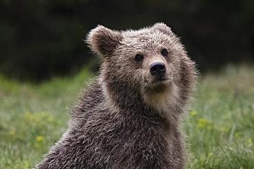 European brown bear (Ursus arctos), Slovenia, Europe