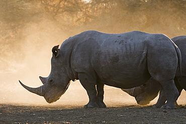 White rhinoceros (Ceratotherium simum), Kalahari, Botswana, Africa
