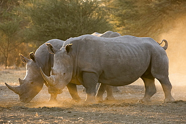 Two white rhinoceroses (Ceratotherium simum) walking in the dust at sunset, Botswana, Africa