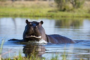 Hippopotamus (Hippopotamus amphibius), Khwai Conservation Area, Okavango Delta, Botswana, Africa