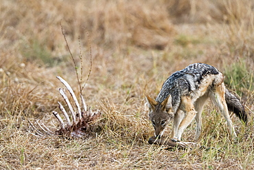 A black-backed jackal (Canis mesomelas) feeding on a carcass, Botswana, Africa