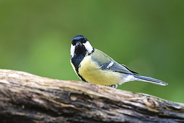 A great tit (Parus major) perching on a tree, Slovenia, Europe