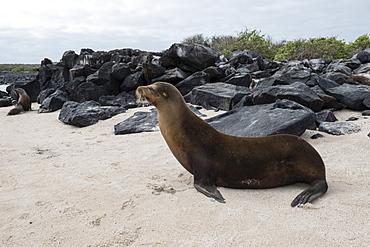 Galapagos Sea Lion (Zalophus californianus wollebaeki), Punta Suarez, Espanola Island, Galapagos Islands, UNESCO World Heritage Site, Ecuador, South America
