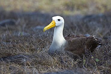 Portrait of a waved albatross (Diomedea irrorata) sitting on nest, Espanola Island, Galapagos Islands, UNESCO World Heritage Site, Ecuador, South America