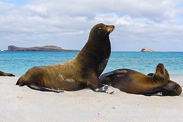 Galapagos sea lions (Zalophus californianus wollebaeki), resting on a sandy beach, Espanola Island, Galapagos Islands, UNESCO World Heritage Site, Ecuador, South America