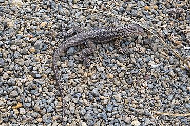 Galapagos Lava Lizard (Microlophus albemarlensis), Floreana Island, Galapagos Islands, UNESCO World Heritage Site, Ecuador, South America