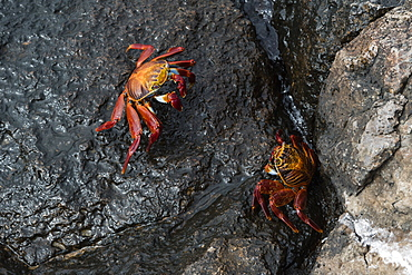 Sally Lightfoot Crab (Grapsus grapsus), South Plaza Island, Galapagos Islands, UNESCO World Heritage Site, Ecuador, South America
