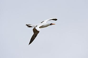 Nazca booby (masked booby) (Sula dactylatra granti) in flight, Punta Suarez, Espanola Island, Galapagos Islands, Ecuador, South America