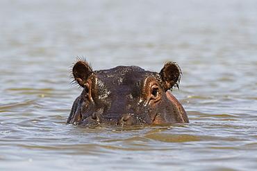A hippopotamus (Hippopotamus amphibius), looking at the camera, Tsavo, Kenya, East Africa, Africa