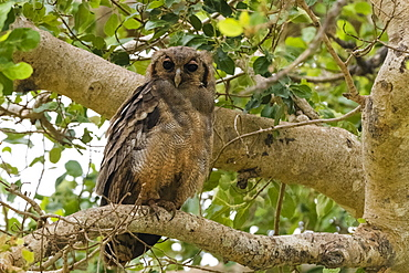 A Verreaux's eagle-owl (Bubo lacteus), perching on a tree, Tsavo, Kenya, East Africa, Africa