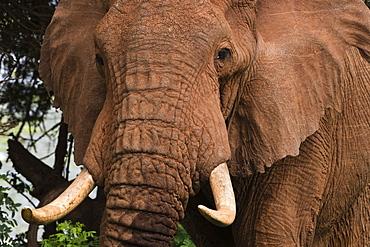 Close up portrait of an African elephant (Loxodonta africana), Tsavo, Kenya, East Africa, Africa