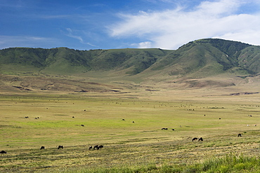 Wildebeest (gnu) (Connochaetes taurinus) and plains zebras (Equus quagga), Ngorongoro Crater, Ngorongoro Conservation Area, UNESCO World Heritage Site, Serengeti, Tanzania, East Africa, Africa
