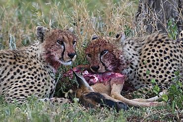 Cheetahs (Acinonyx jubatus) feeding on a wildebeest calf (Connochaetes taurinus), Ndutu, Ngorongoro Conservation Area, Serengeti, Tanzania, East Africa, Africa