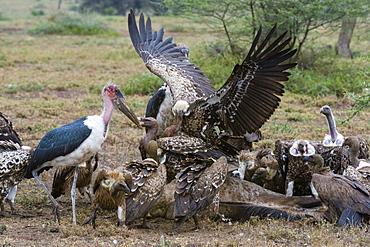 White-backed vultures (Gyps africanus) and marabou stork (Leptoptilos crumeniferus), Ndutu, Serengeti, Tanzania, East Africa, Africa