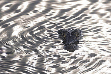 A jacare caiman (Caiman yacare) at surface of water, Mato Grosso, Brazil, South America