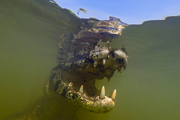 Close up underwater portrait of a jacare caiman (Caiman yacare) in the Rio Claro, Mato Grosso, Brazil, South America