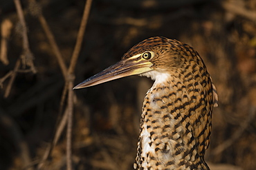 Portrait of an immature rufescent tiger-heron (Tigrisoma lineatum), Mato Grosso, Brazil, South America