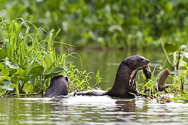 Giant otter (Pteronura brasiliensis), Pantanal, Mato Grosso, Brazil, South America