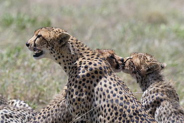 A female cheetah (Acybonix jubatus) with her two cubs, Tanzania, East Africa, Africa