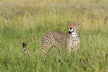 A cheetah (Acynonix jubatus) in tall grass, surveying the savannah, Tanzania, East Africa, Africa