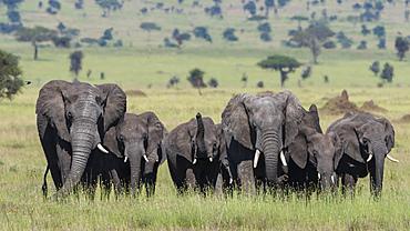 African elephant herd (Loxodonta africana) walking in the Serengeti, UNESCO World Heritage Site, Tanzania, East Africa, Africa