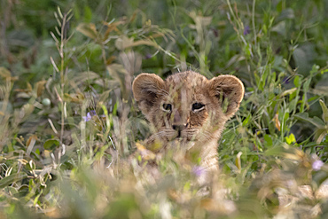 A lion cub (Panthera leo) hiding in the grass, Tanzania, East Africa, Africa