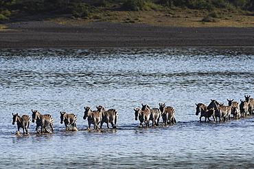 Common zebras (Equus quagga) crossing Lake Ndutu, Serengeti, UNESCO World Heritage Site, Tanzania, East Africa, Africa