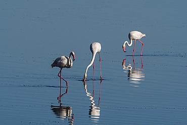 Greater Flamingo (Phoenicopterus roseus), Lake Ndutu, Ngorongoro Conservation Area, UNESCO World Heritage Site, Tanzania, East Africa, Africa