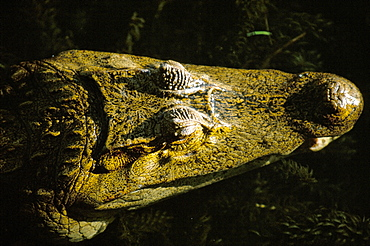 Close-up of the head of a common caiman (Caiman crocodilus), River Chagres, Soberania Forest National Park, Gamboa, Panama, Central America