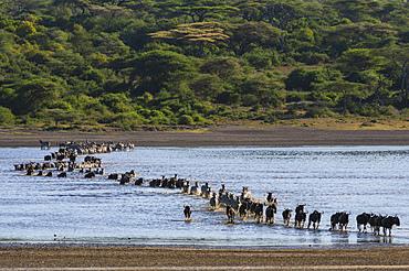 Migrating plains zebras (Equus quagga) and wildebeests (Connochaetes taurinus), crossing Lake Ndutu, Serengeti, UNESCO World Heritage Site, Tanzania, East Africa, Africa